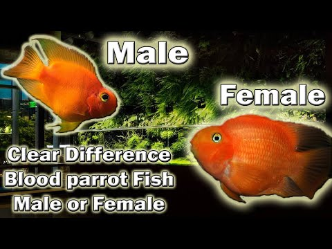 Clear Difference Between Blood Parrot Fish (Male & Female) Urdu And Hindi