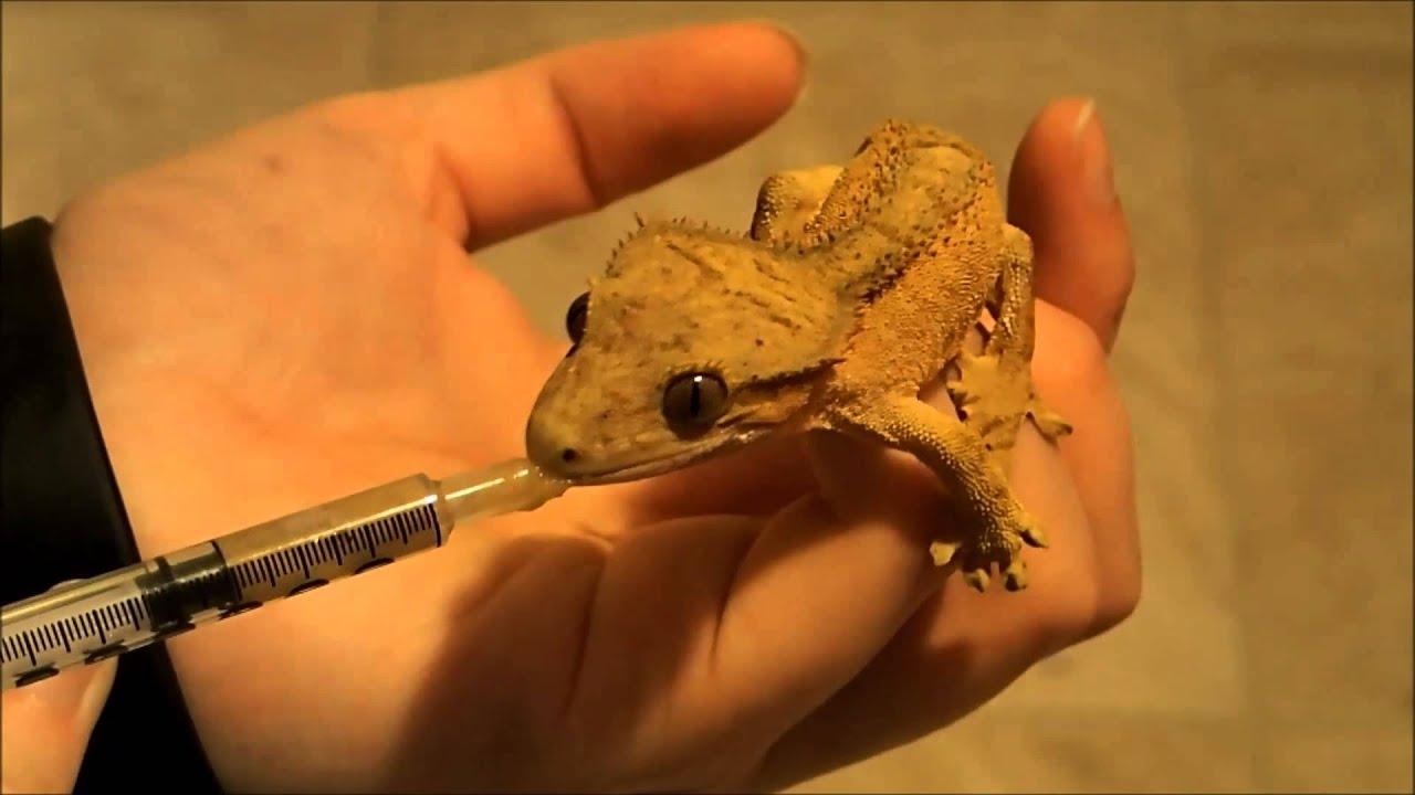 Cute Leopard Gecko Wallpaper Crested Gecko Hand Feeding Youtube