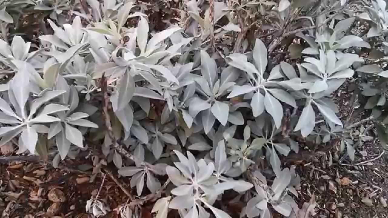 White Sage Black Sage And Sagebrush Youtube