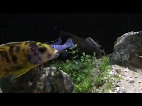 Synodontis Eureptus (feather fin catfish) from YouTube · High Definition · Duration:  34 seconds  · 302 views · uploaded on 6/18/2014 · uploaded by NYCity Cichlids