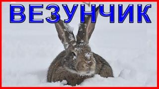 ☝▶Охота на зайца зимой. Тропление зайца по следам 2016-2017 Зимняя охота на зайца ИЖ-12 Hare hunting
