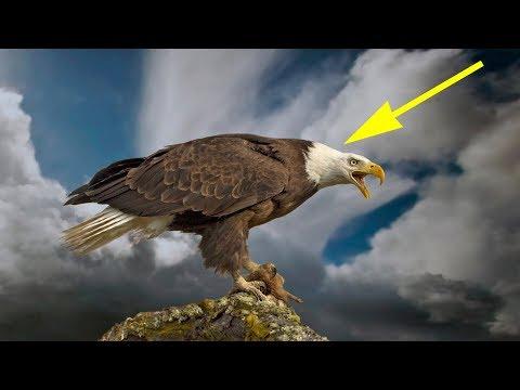 Вот, что делает орёл, когда доживает до старости. Просто невероятно...
