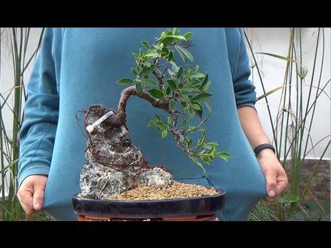 Cómo hacer bonsai con raíces sobre roca - La parte práctica