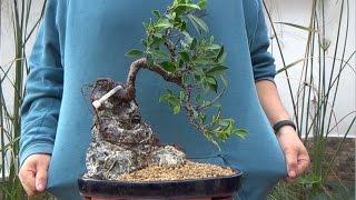 Cómo hacer bonsai con raíces sobre roc...