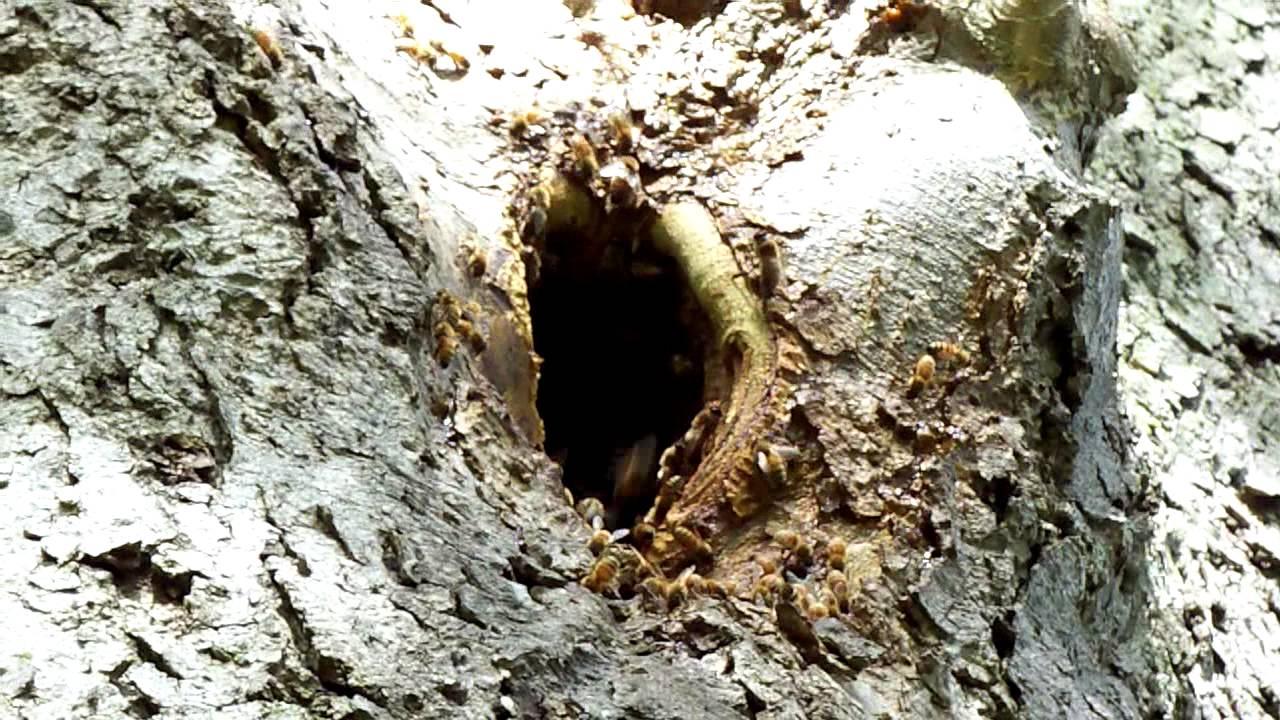 wild honey bees around their tree hive nest youtube