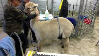 Alpaca embryo transfer