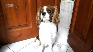 Cavalier King Charles Spaniel - Reaction To The Door Phone - [paca]
