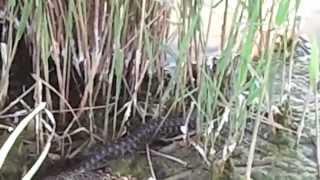 видео Ядовитые и опасные змеи Украины