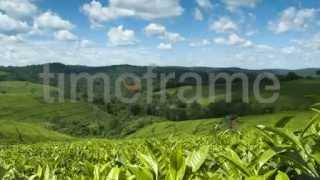 Time-lapse footage of tea plantation in Uganda