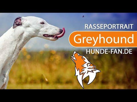 Greyhound [2018] Rasse, Aussehen & Charakter