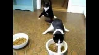 Обкуренные коты