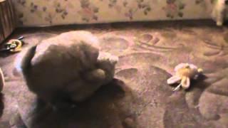Щенки карликового шпица 1 месяц