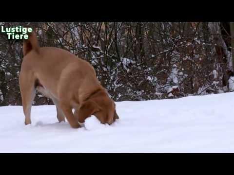 Lustige Hunde spielen im Schnee Kompilierung 2013