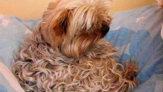 Hoky - Curly Yorkshire Terrier