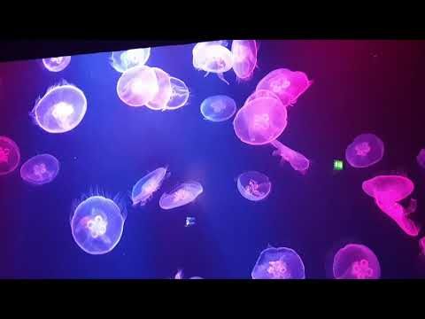 قنديل البحر في اتلانتس دبي ،jellyfish , the lost chamber aquarium,  Atlantis Dubai