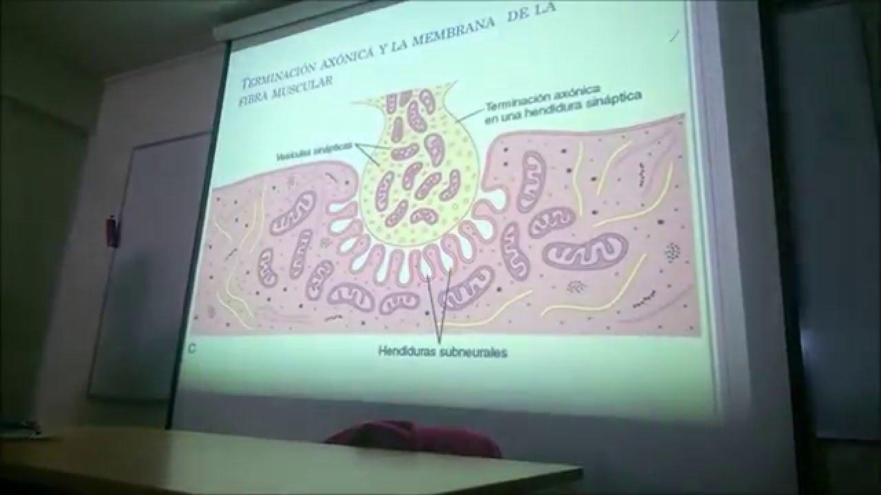 Anatomía y Fisiología del Tejido Muscular Esquelético Pt1 - YouTube