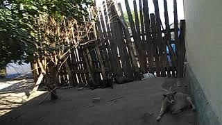 Как долго камерунские козы кормят молоком своих малышей карликовые животные на прогулке