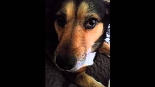 Talking Beagle Husky Mix!