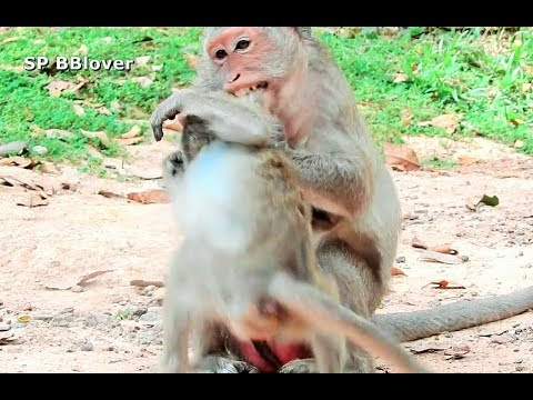 Mom Monkey Can't Stop Young Baby Nurse, Show Angry On Daughter - SP BBlover - Son Scream For Milk thumbnail