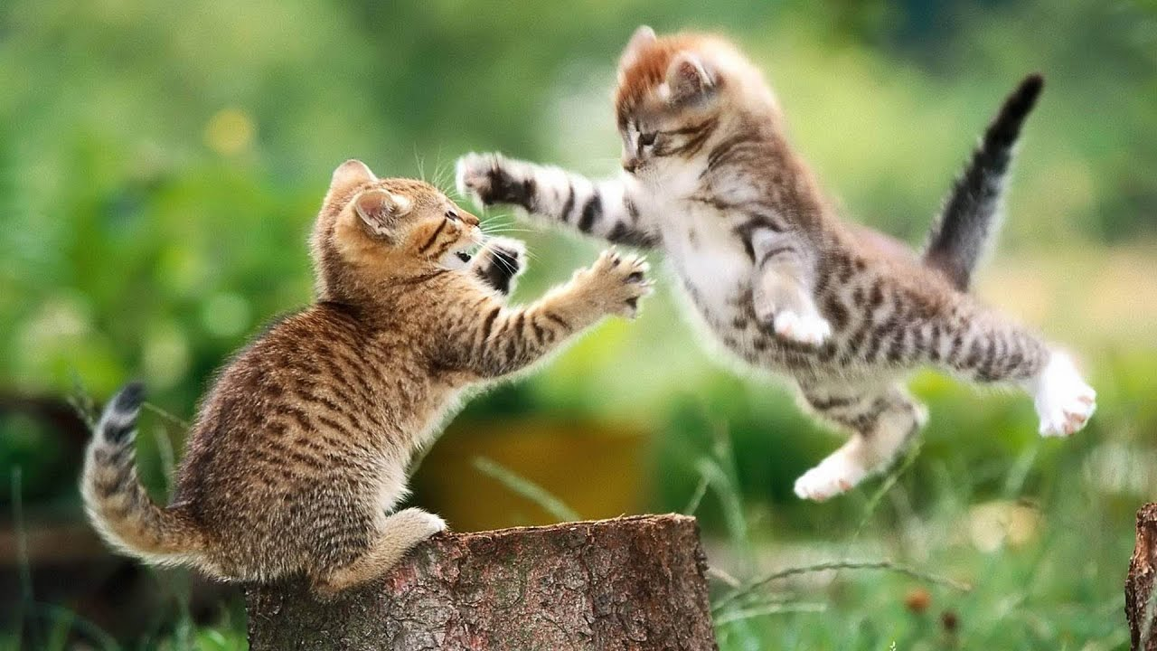 Cute Funny Kitten Playing and Fighting ❤ Cute Sumo Kittens