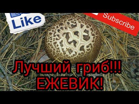 Замечательный гриб - ЕЖЕВИК. В чём  его ценность...