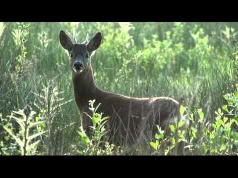 Calling in Roe Deer