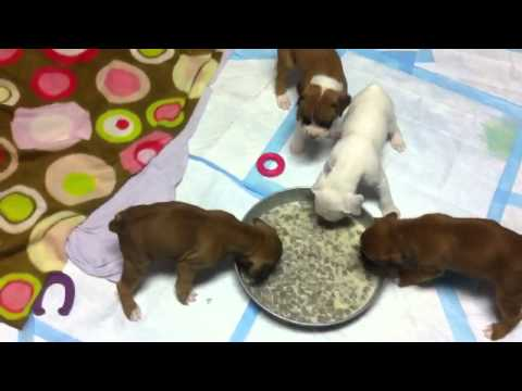 4 week old puppies feeding time