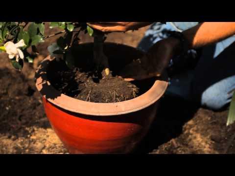 How to Repot Gardenias : Garden Savvy