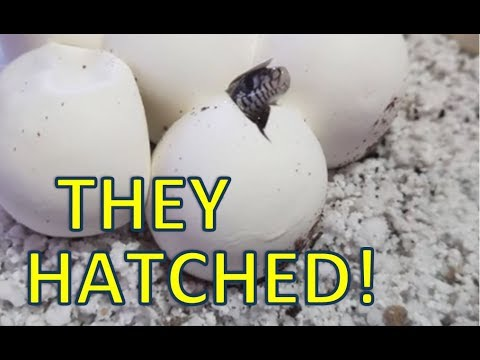 Baby Bullsnakes Hatching! Results of Vermiculite vs Perlite