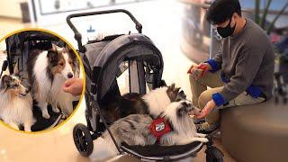 [Eng] 강아지 유모차 끌고 쇼핑몰 산책|Shoppi…