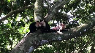 Monos Capuchinos Parque Nacional Manuel Antonio, Costa Rica