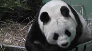 TianTian - Giant Panda , Edinburgh Zoo
