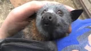 Летучая лисица пищит от удовольствия