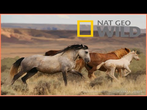 Wild Horses as Native North American BBC Documentary Wildlife Animals