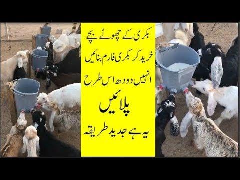 How sweet|Bakri ke Bache|Goat farming in pakistan|بکریوں کی اقسام| by ALI  AWAN TV