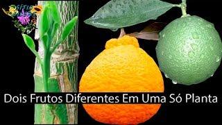 Como ter Dois ou Mais Frutos Diferentes em Um único Pé de Planta