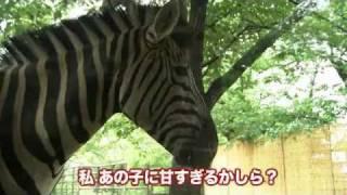 王子動物園で6月に生まれたシマウマの赤ちゃん。姿はもうすでにお母さん...