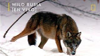 Wild Rusia: Siberia | Nat Geo