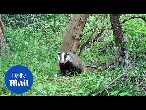 BadgerCam captures adorable young badgers exploring woods - Daily Mail