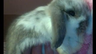 Cody-Blue The Mini Lop Bunny. Thumbnail