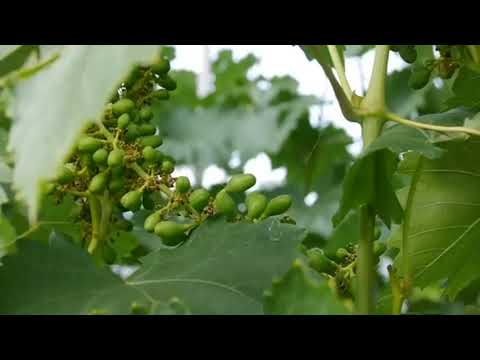Варианты посадки винограда в сибирских условиях, Тюмень