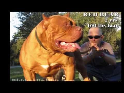 Red Bear - Biggest Bully Pitbull