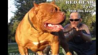 Red Bear - Biggest Bully Pitbull