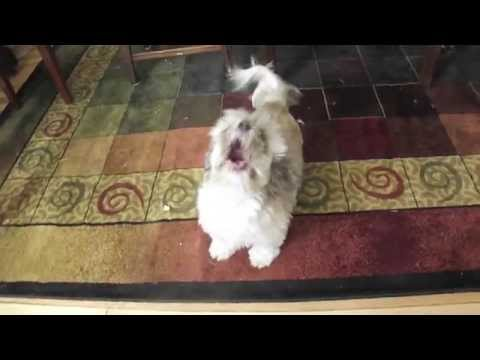 Cody, the Screaming Dog