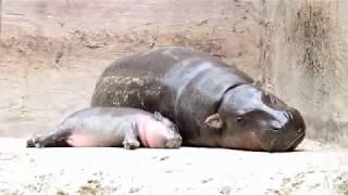 ลูกฮิปโปแคระ สมาชิกใหม่สวนสัตว์เปิดเขาเขียว ชลบุรี #คมชัดลึก