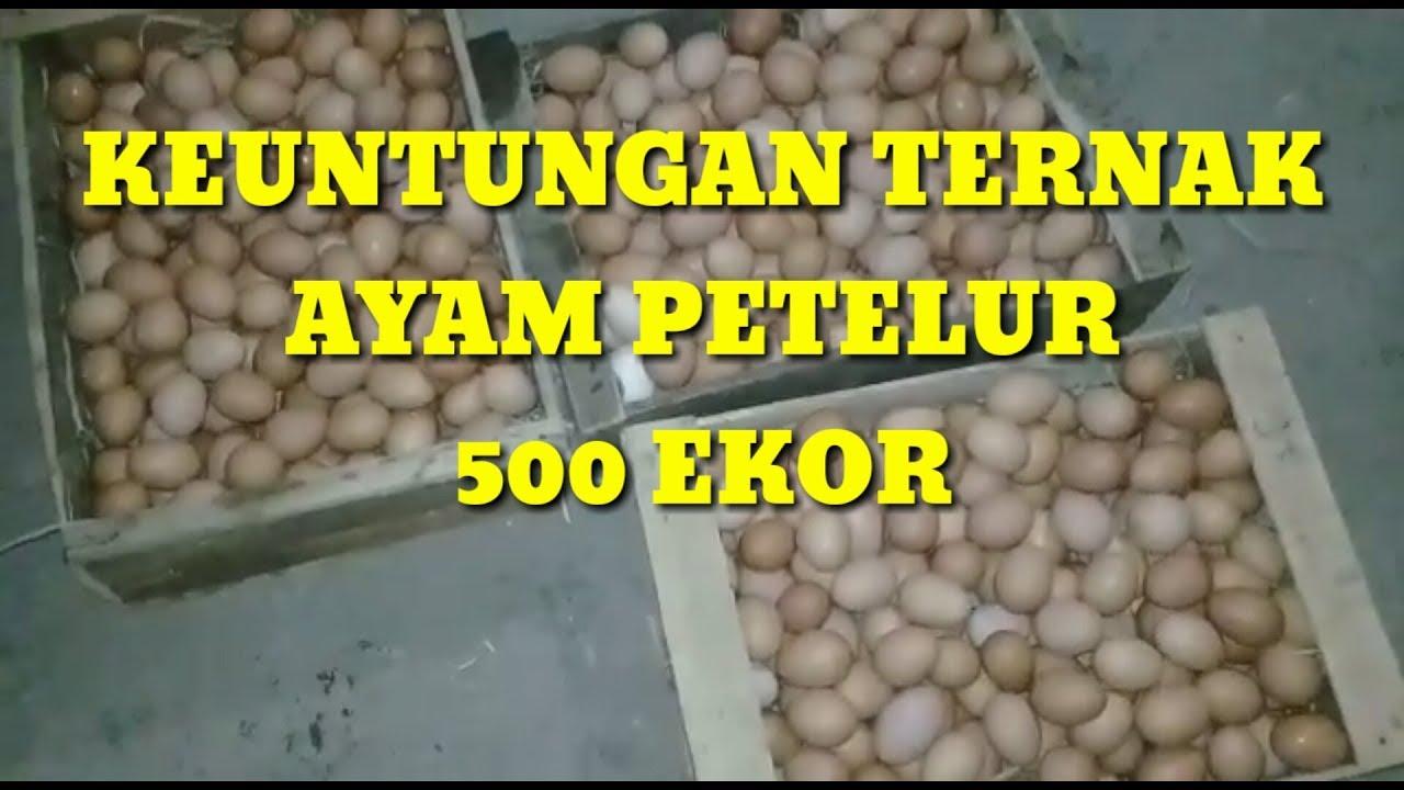 keuntungan ternak ayam petelur 500 ekor - YouTube