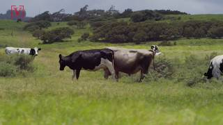 Scientists Think Cows Will Be the Largest Animals on Land in the Future