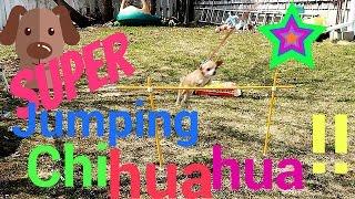 Video AMAZING JUMPING CHIHUAHUA!   Day 099 (04/09/17) download MP3, 3GP, MP4, WEBM, AVI, FLV November 2018