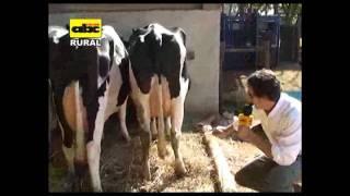 Apareamiento correctivo en vacas lecheras Ing Hugo Pistilli ganadería