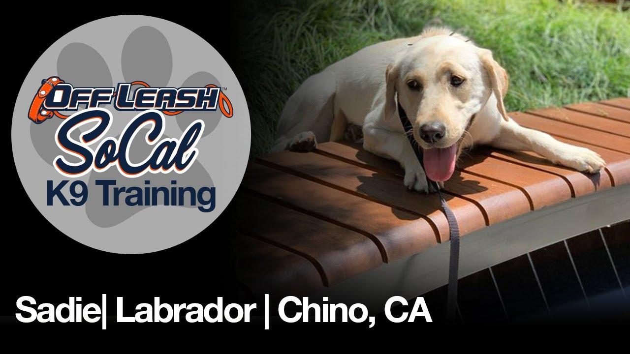 Sadie| Labrador| Chino, CA